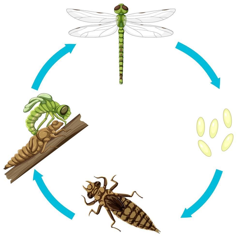 Lebenszyklus der Drachenfliege auf weißem Hintergrund vektor