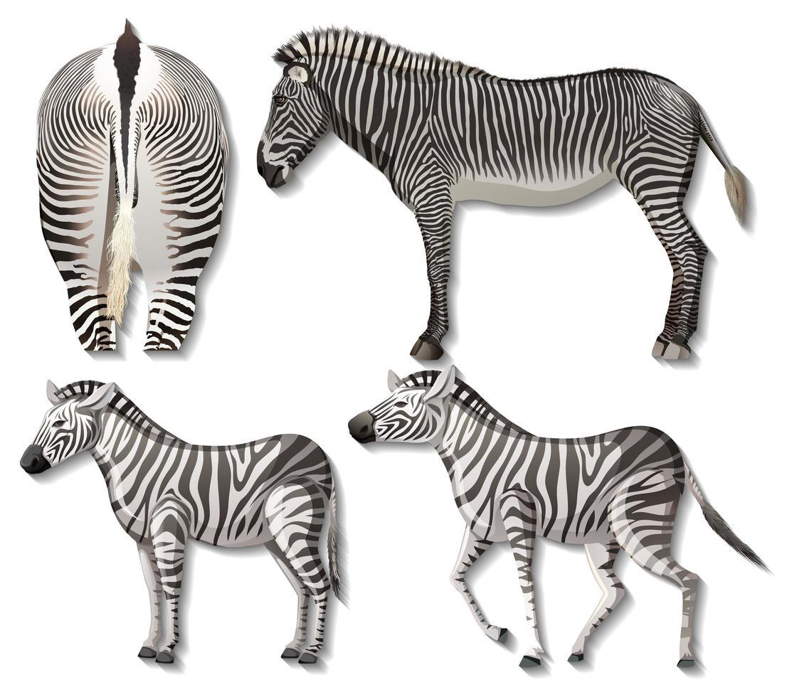 Satz von verschiedenen Seiten des Zebras lokalisiert auf weißem Hintergrund vektor