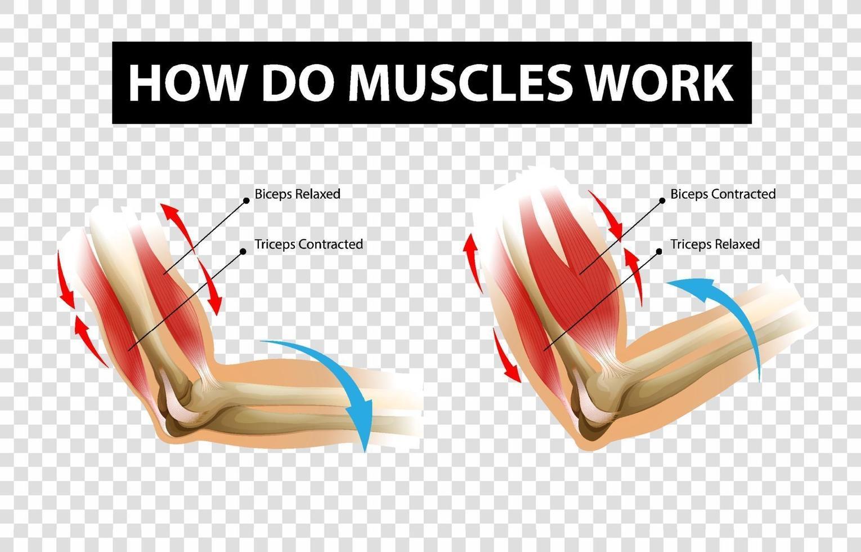 diagram som visar hur muskler fungerar med etiketter på transparent bakgrund vektor