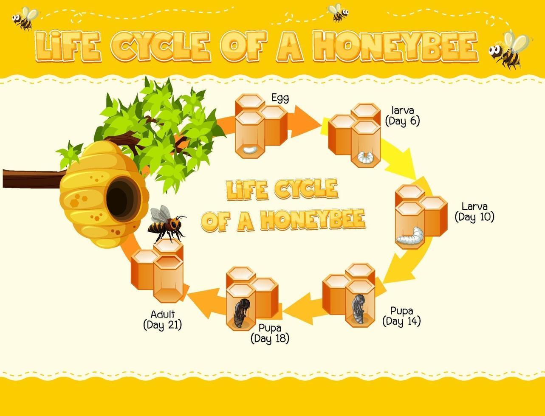 Diagramm, das den Lebenszyklus der Honigbiene zeigt vektor