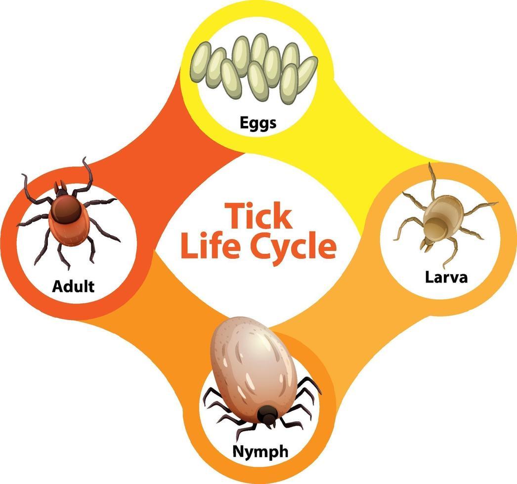 diagram som visar livscykel för fästing vektor