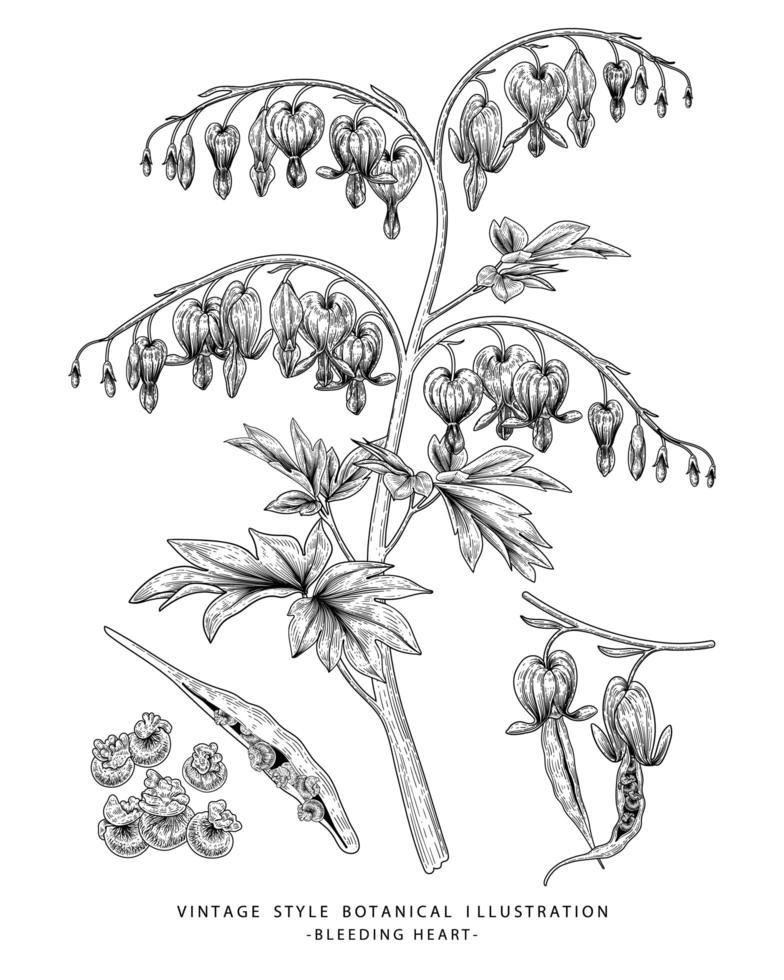 blutende Herzblume oder Dicentra spectabilis handgezeichnete botanische Illustrationen vektor