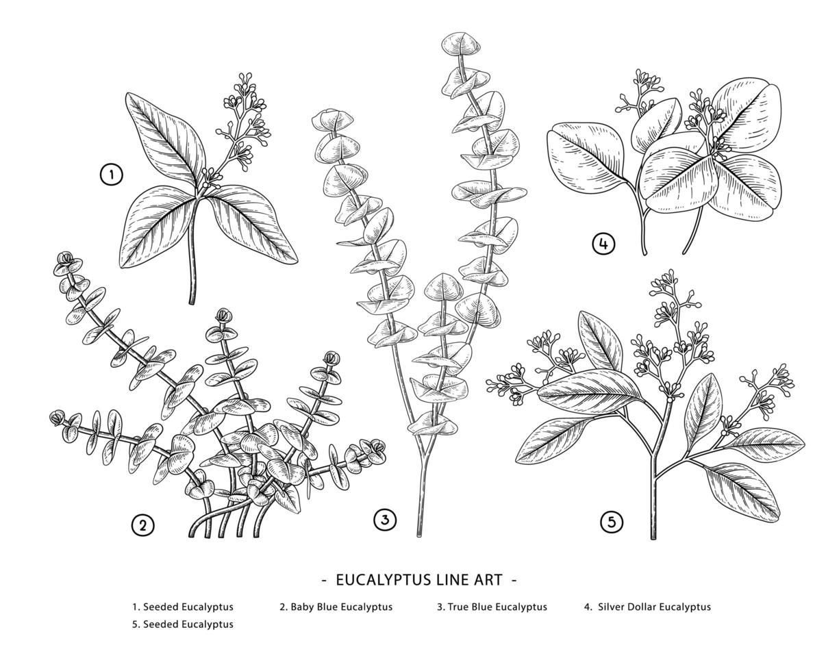 element av eukalyptus handritade botaniska illustrationer. vektor
