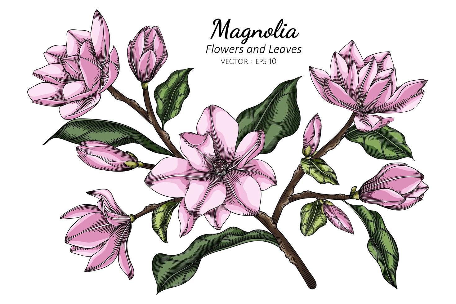 rosa Magnolienblumen- und Blattzeichnungsillustration mit Strichzeichnungen auf weißem Hintergrund vektor