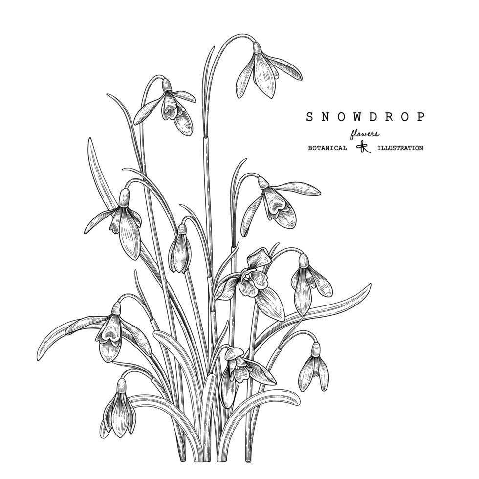 Schneeglöckchen Blumenzeichnungen vektor