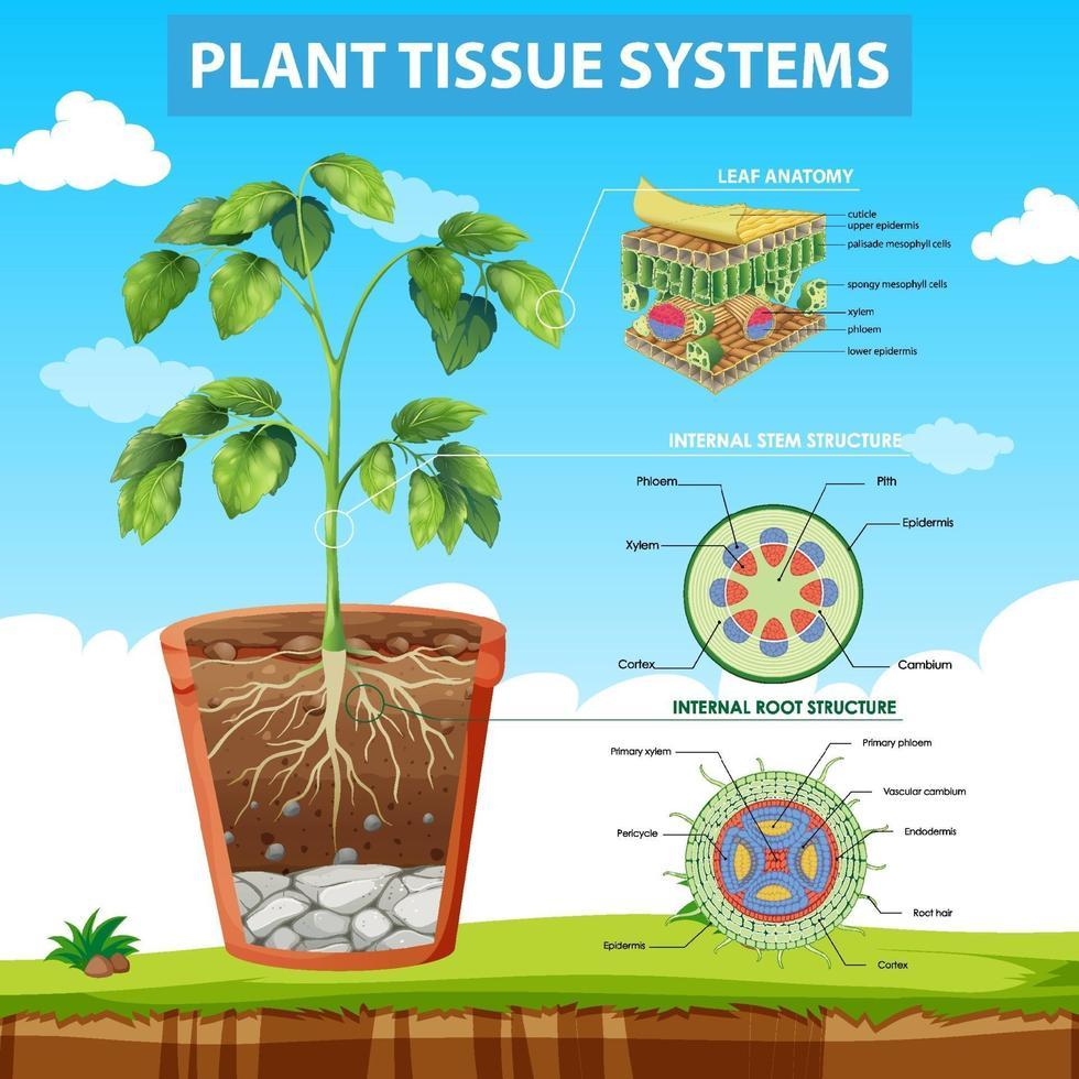 diagram som visar växtvävnadssystem vektor