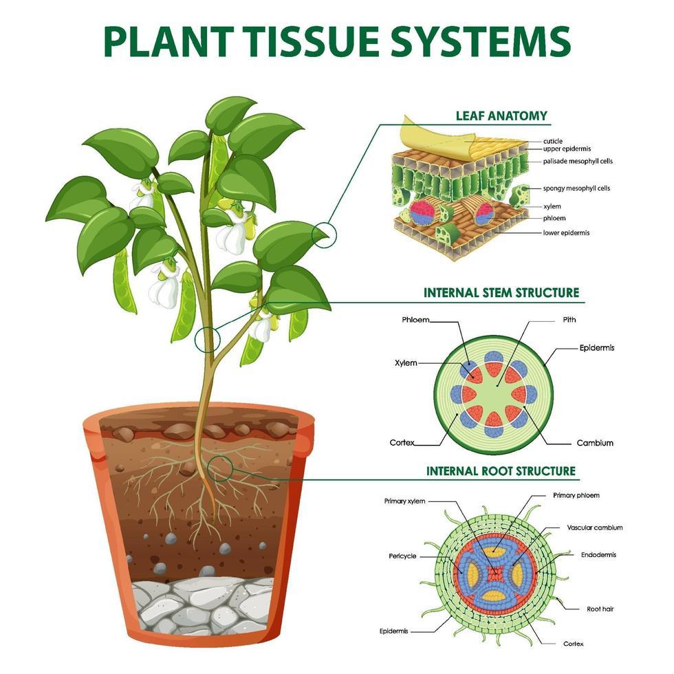 Diagramm, das Pflanzengewebesysteme zeigt vektor