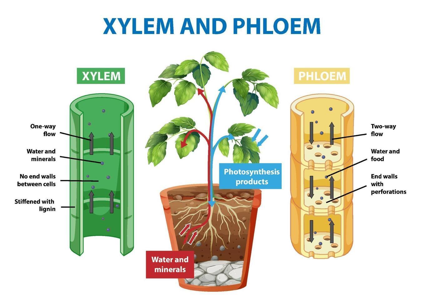 diagram som visar xylem och floem av växten vektor
