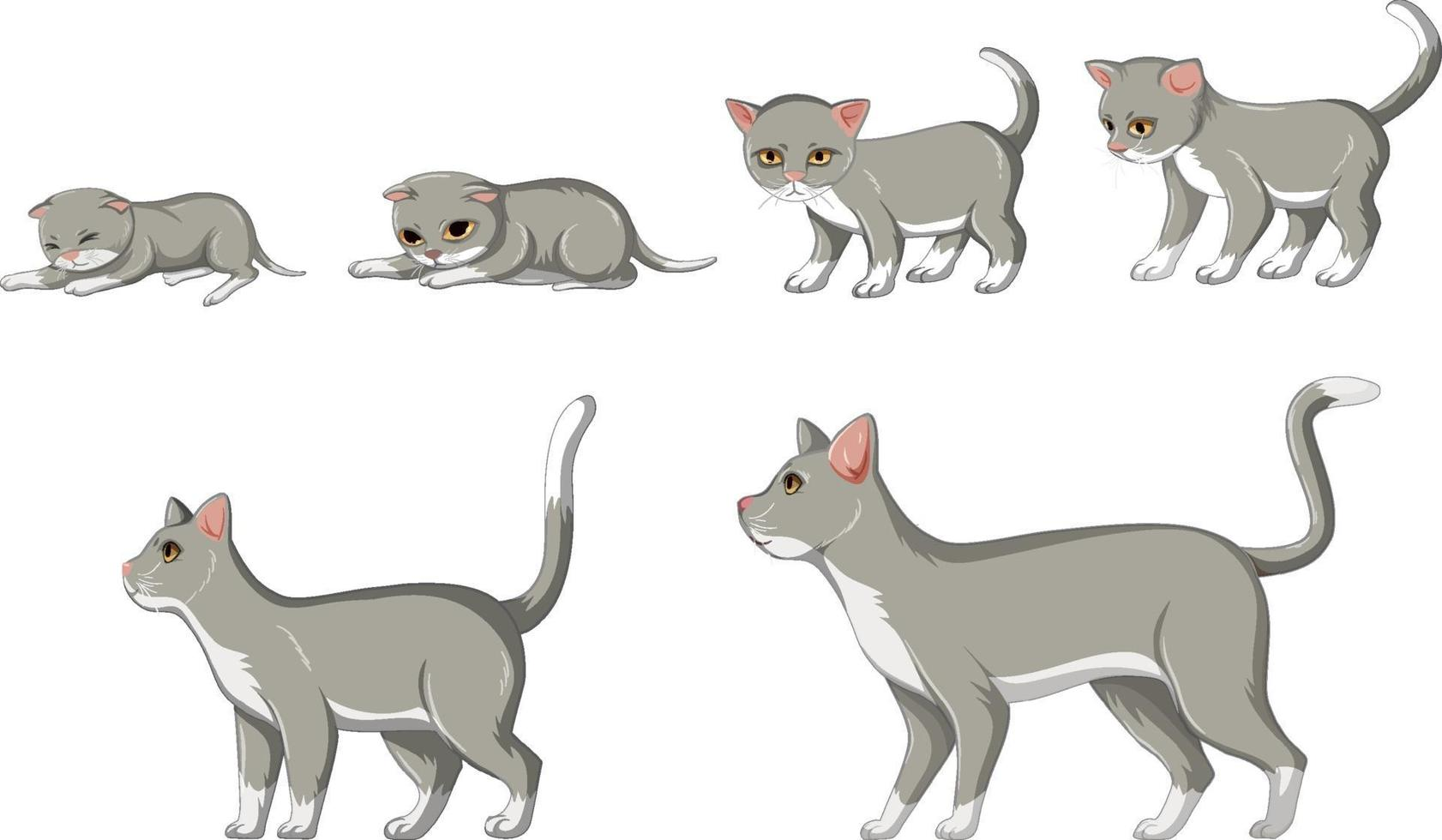 Katzenwachstumsstadium auf weißem Hintergrund vektor
