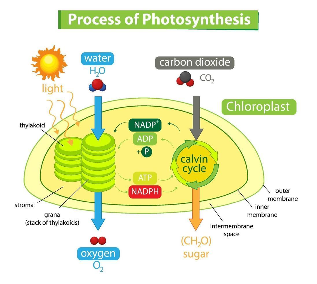 diagram som visar processen för fotosyntes i anläggningen vektor