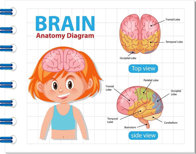 Informationsplakat des menschlichen Gehirndiagramms vektor