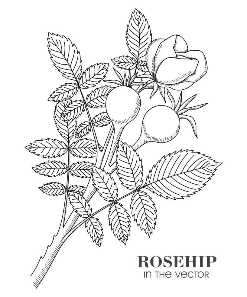 en skiss av grenarna av den vilda rosen på en vit bakgrund vektor