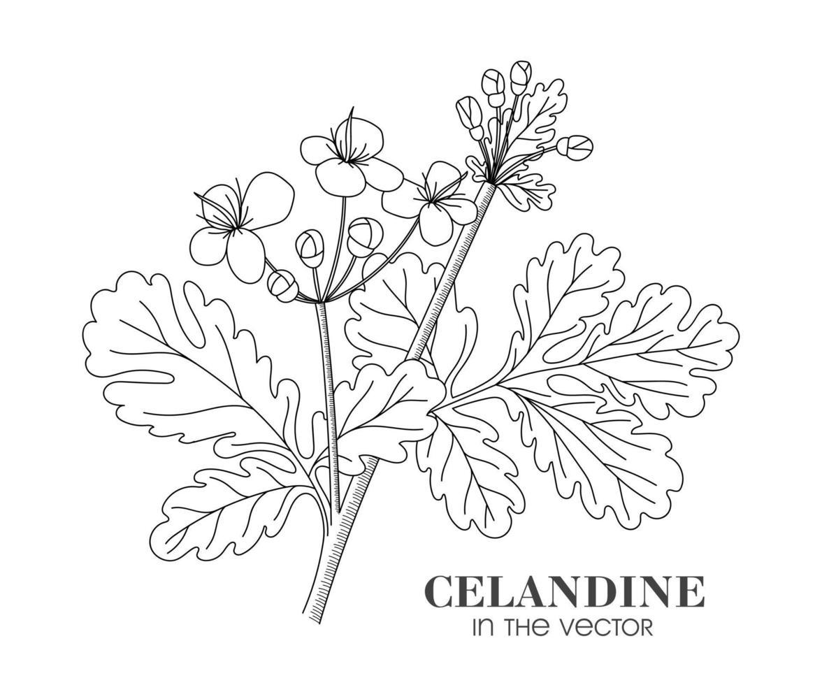 en skiss av celandine på en vit bakgrund vektor