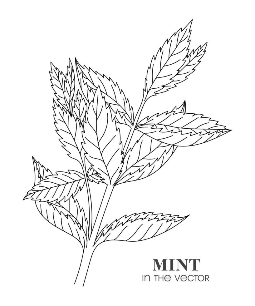 skiss av en kvist av mynta på en vit bakgrund vektor