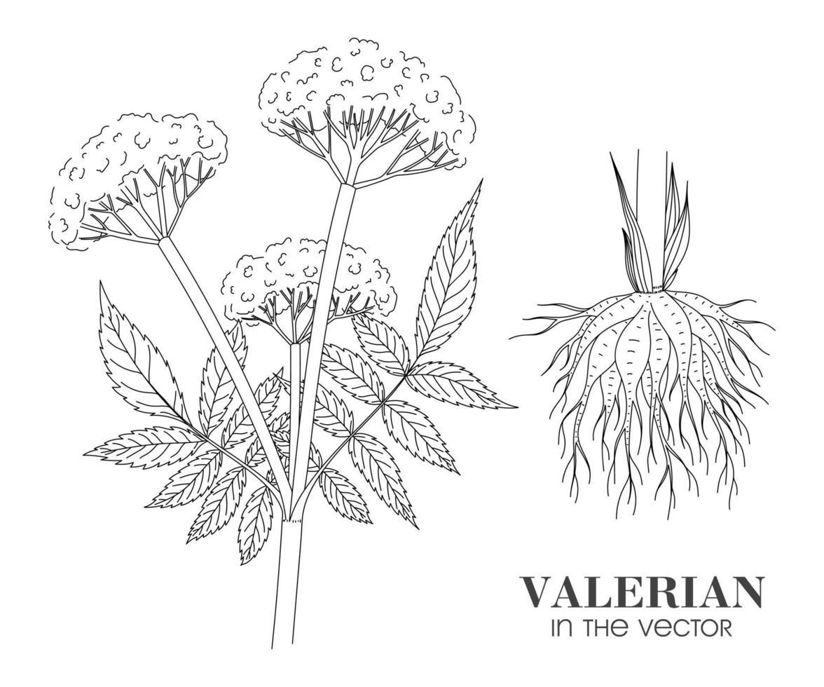 skiss av en valerian gren på en vit bakgrund vektor