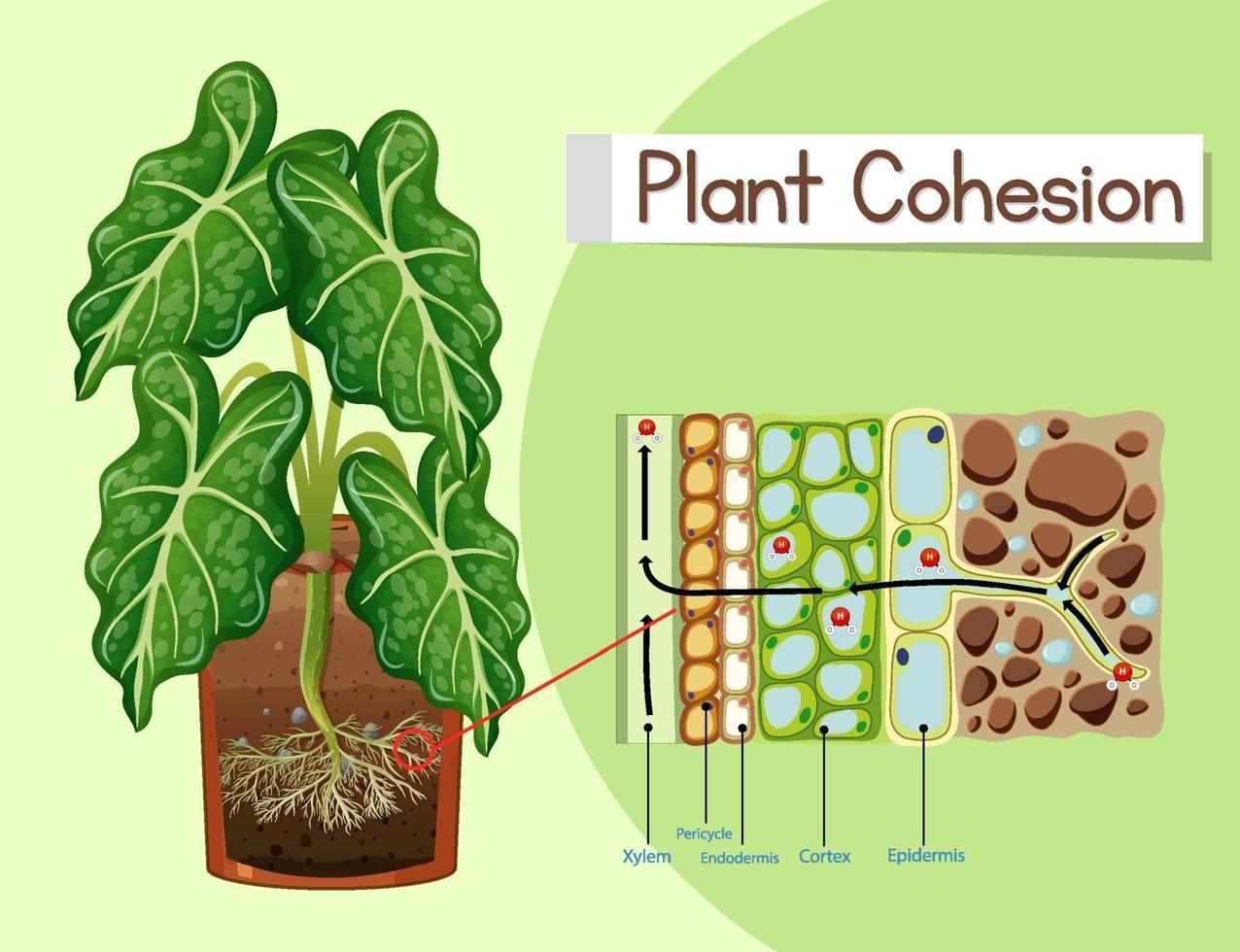 diagram som visar växt sammanhållning vektor