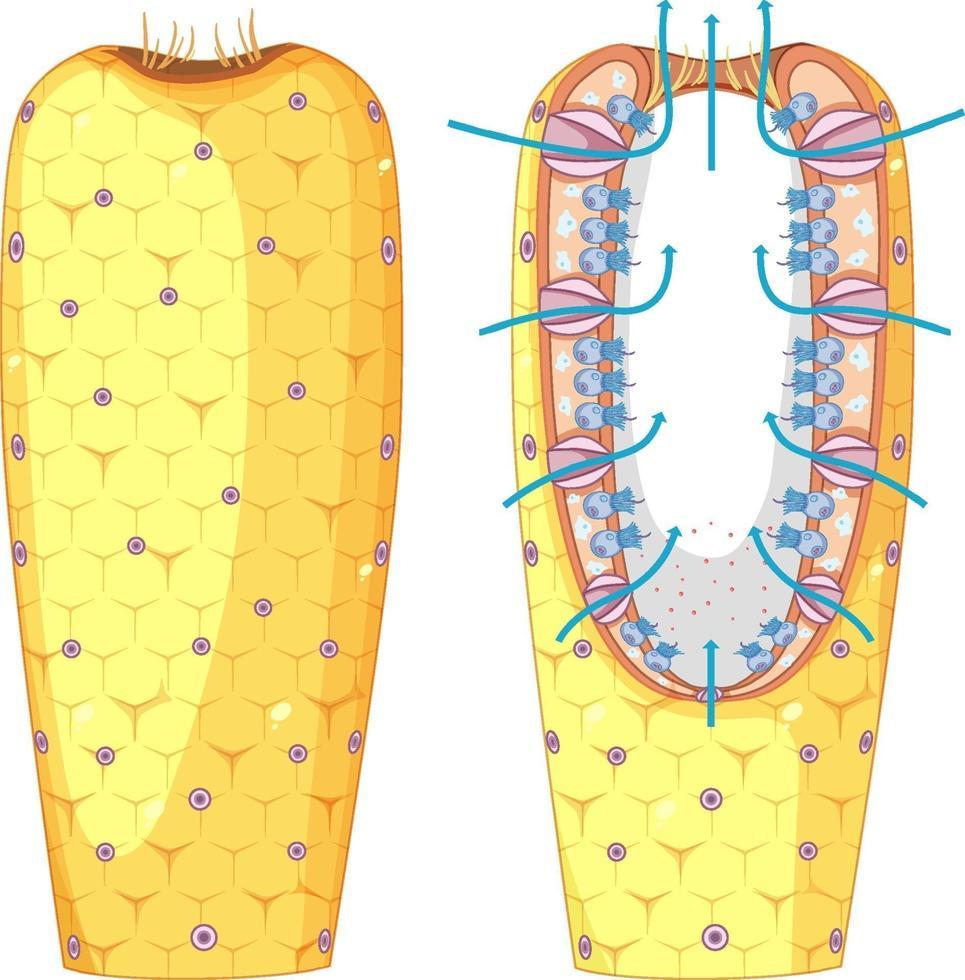 Diagramm der Schwammstruktur für den Biologieunterricht vektor