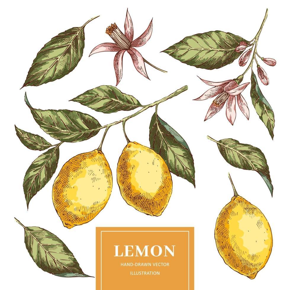citroner handritad vektor illustrationer pack