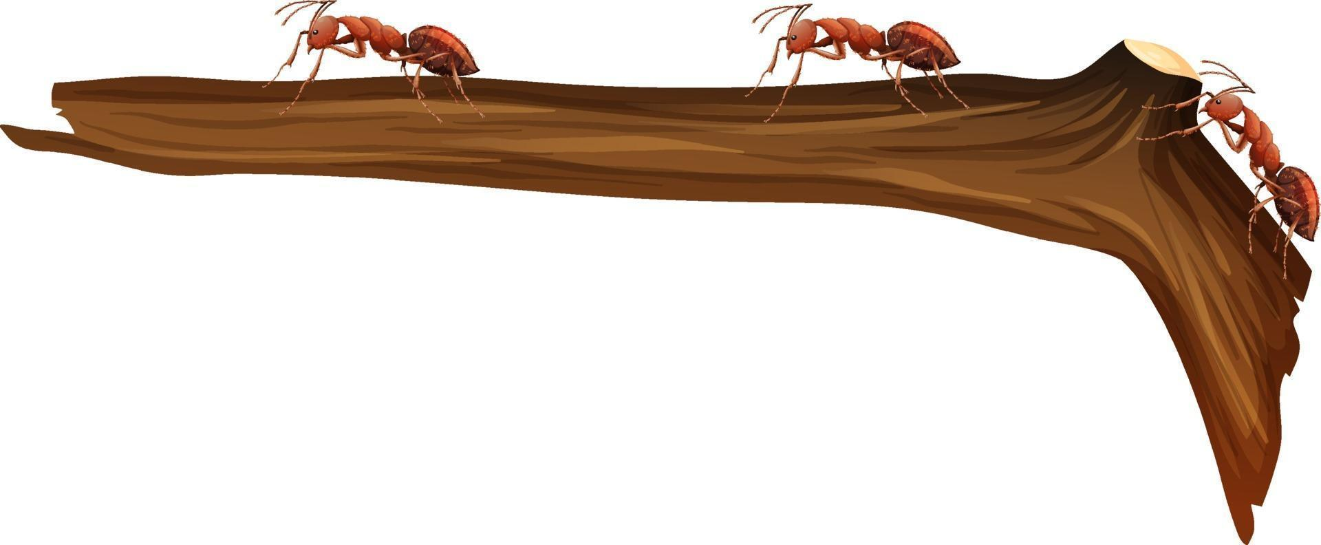 närbild av många röda myror som går på en gren på vit bakgrund vektor
