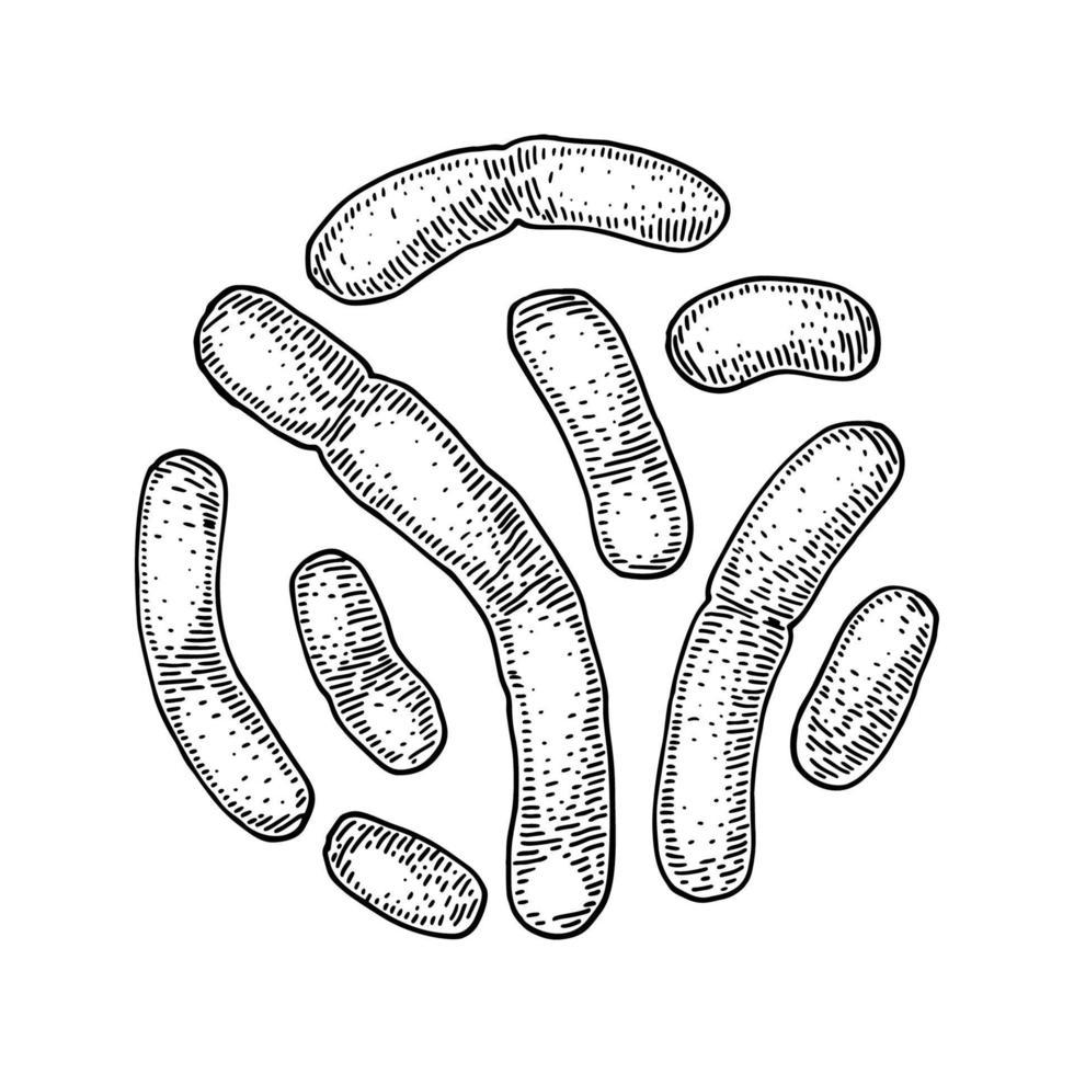 handritade probiotiska laktobacillusbakterier. bra mikroorganism för människors hälsa och matsmältningsreglering. vektor illustration i skiss stil