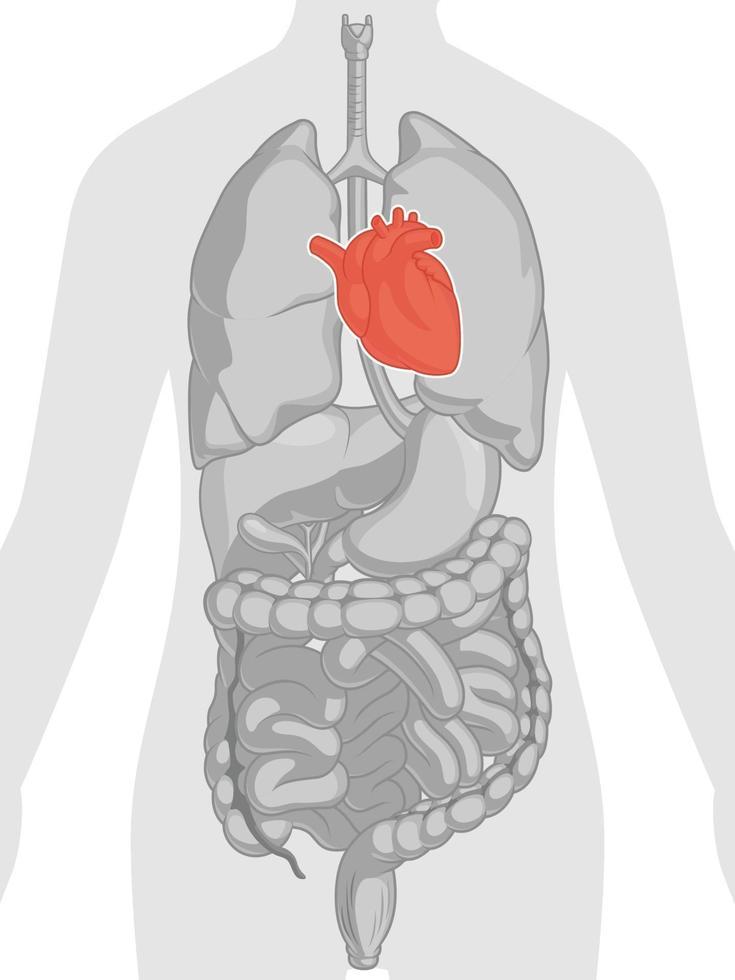 hjärta organ hjärt-kärlsystemet kroppsdel anatomi tecknad ritning vektor