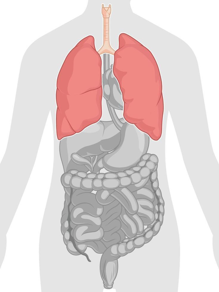mänskliga inre organ anatomi lungor kroppsdel tecknad vektorritning vektor