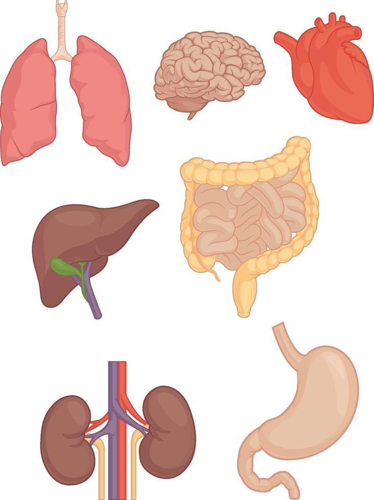mänskliga kroppsdelar hjärna lunga hjärta lever mage tecknad vektorritning vektor