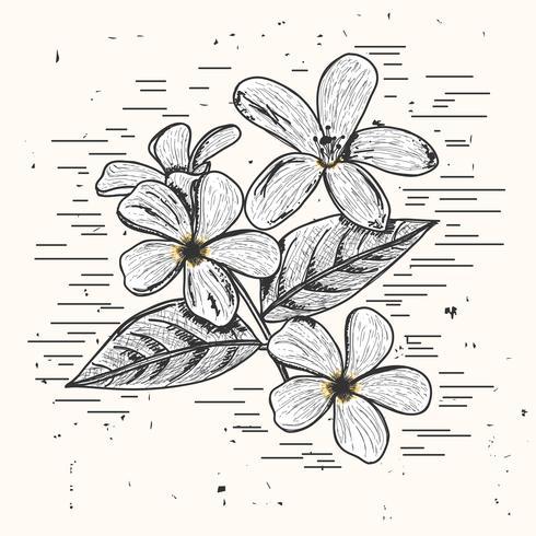 Jasmine Vector Illustration