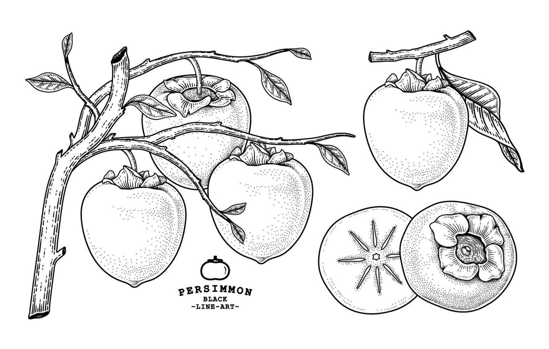 Satz von gezeichneten Elementen der Hachiya-Kaki-Frucht-Hand gezeichnete Elemente botanische Illustration vektor