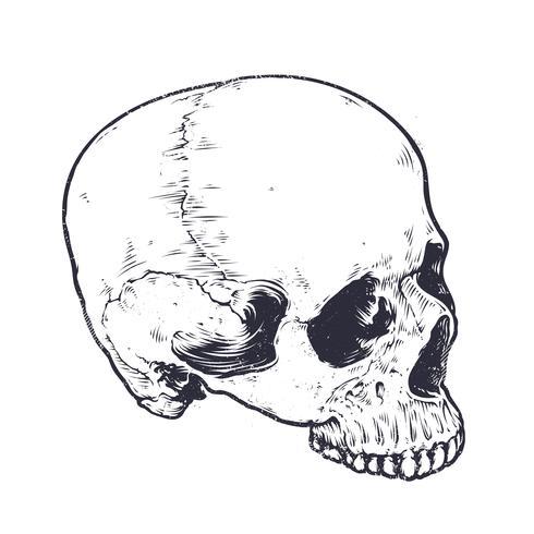 Anatomischer Schädel-Vektor vektor
