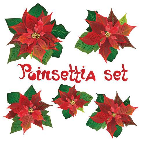 Röd poinsettia vektor blommor set. Jul symboler illustration. Pulcherrima blommande planta. Traditionell julpinsettia blomma med gröna blad och röda kronblad.