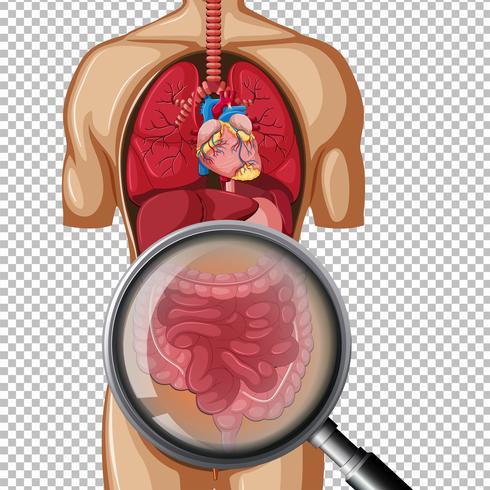 Menschliche Anatomie des Darms vektor