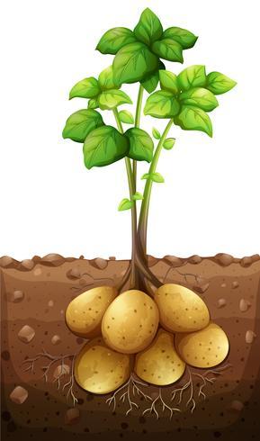 Kartoffelpflanze unter der Erde vektor