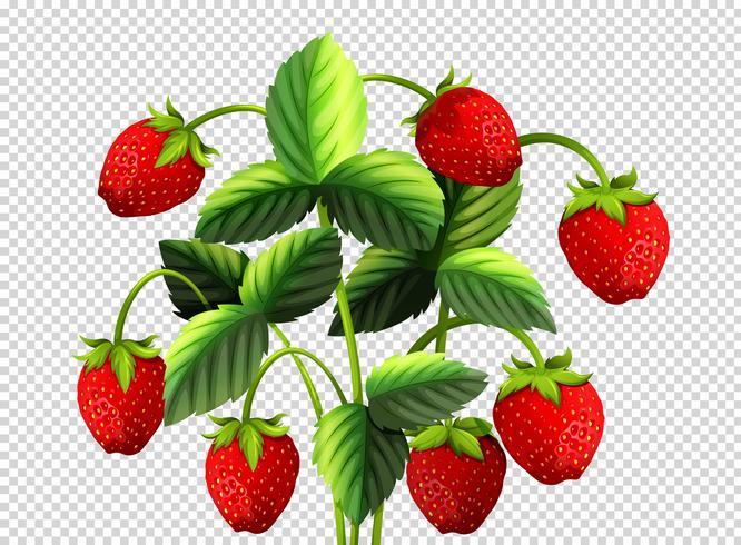 Färsk jordgubbarbuske på transparent bakgrund vektor