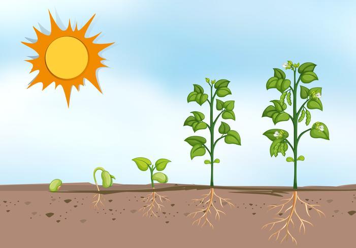 Pflanzenanbau in verschiedenen Stadien vektor
