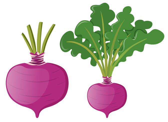 Rettich mit grünen Blättern vektor