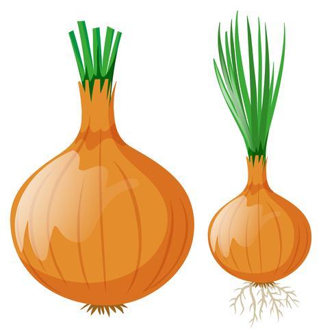 Zwiebel mit Blättern und Wurzeln vektor