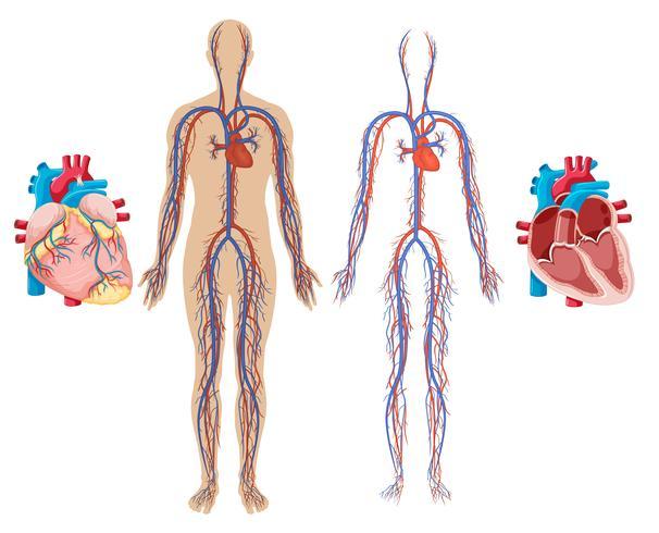 Mänskligt hjärta och kardiovaskulärt system vektor