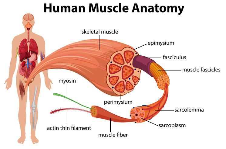 mänsklig muskelanatomi diagram vektor