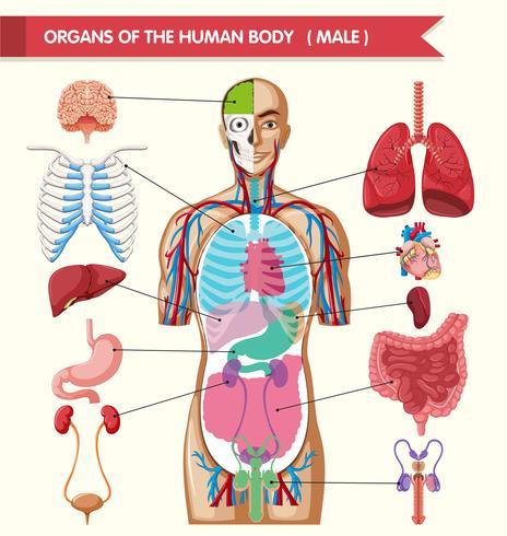 Diagram som visar kroppens organ vektor