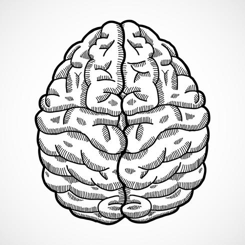 Skizze des menschlichen Gehirns vektor