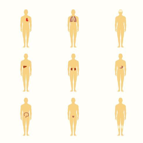 Menschliche Figuren mit inneren Organen vektor