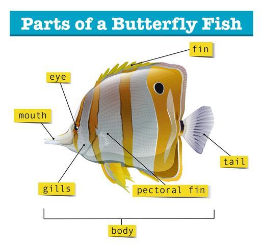 Diagram över olika delar av fisken vektor