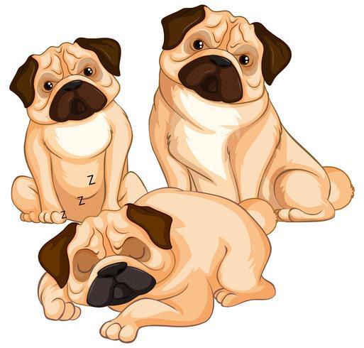 Tre pug hundar på vit bakgrund vektor