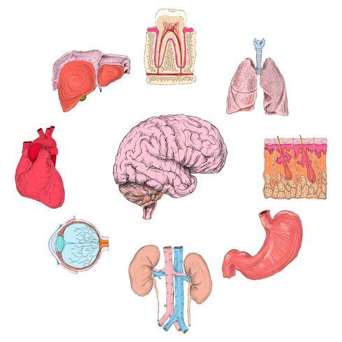Menschliche Organe gesetzt vektor