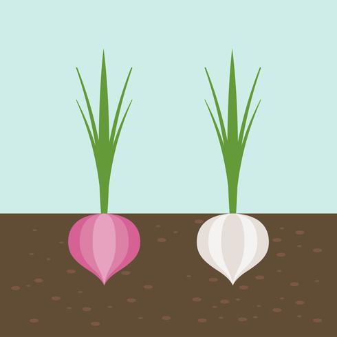 Zwiebel und rote Zwiebel, Gemüse mit Wurzel in Bodentextur, flaches Design vektor