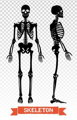 Menschliches Skelett Transparent Set vektor