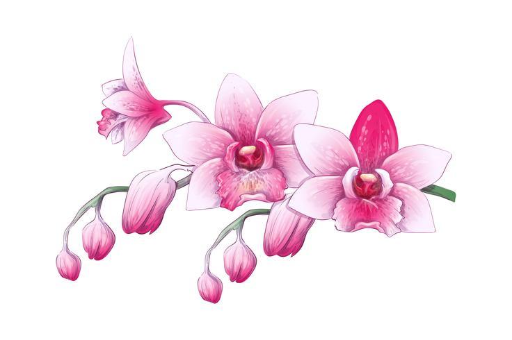 Stellen Sie Phalaenopsis-Orchidee, Rosa, rote Blumen auf weißem Hintergrund, tropische Anlage des digitalen abzugs ein vektor