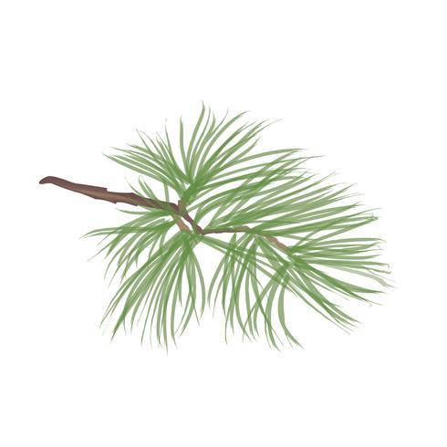 Tallkotte. Pine tree branch isolated. Blommig vintergröna dekor vektor