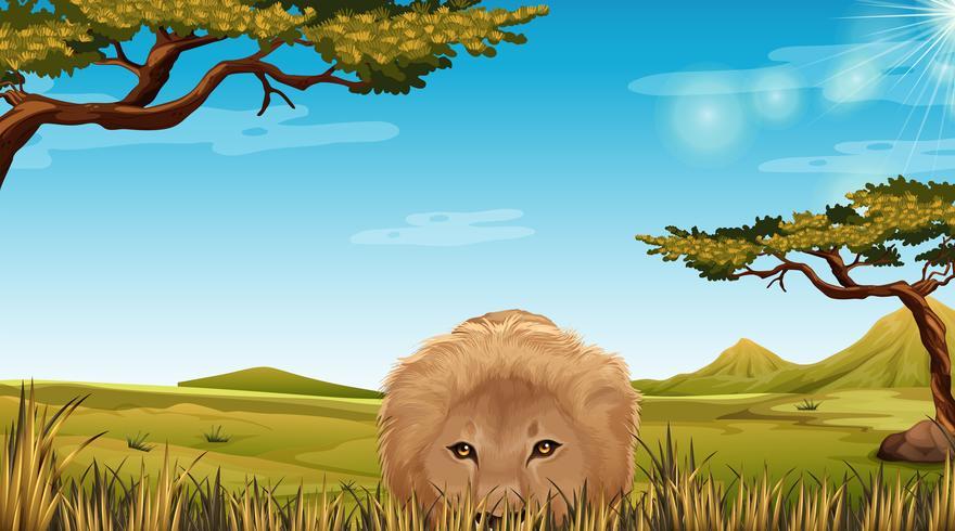 En lejon i Savannah scen vektor